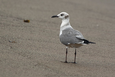 Franklin's Gull 2015 2286