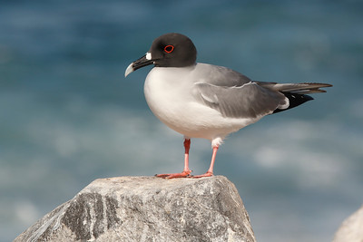 Swallow-tailed Gull 2015 2397
