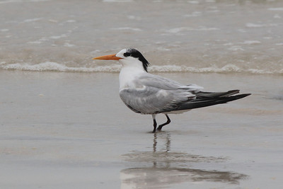 Royal Tern 2015 1569