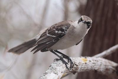 Galapagos Mockingbird 2015 1414