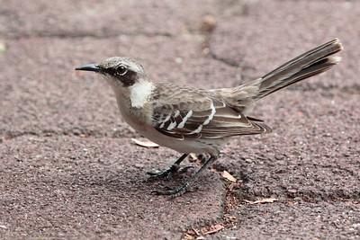 Galapagos Mockingbird 2015 0101