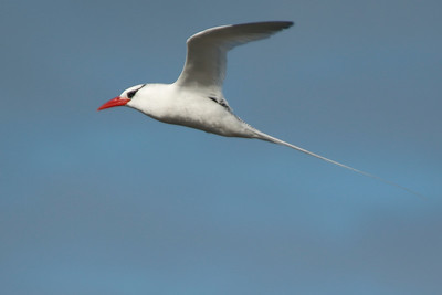 Red-billed Tropicbird 2015 2368