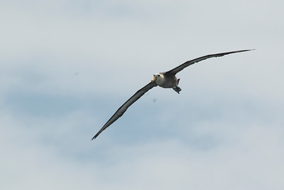 Waved Albatross 2015 2534