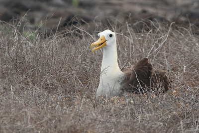 Waved Albatross 2015 2466
