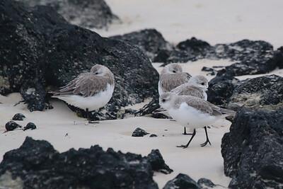 Sanderlings 2015 1606