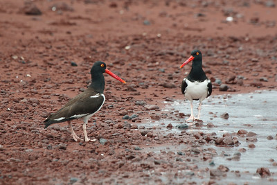 American Oystercatchers 2015 2017