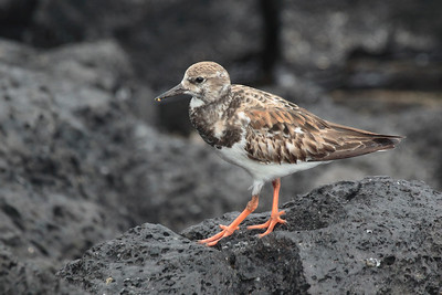 Ruddy Turnstone 2015 1368