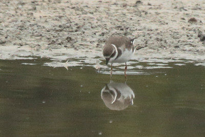 Semipalmated Plover 2015 1507