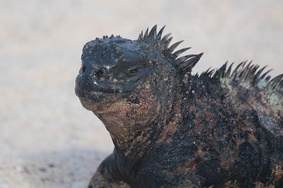 Marine Iguana 2015 2140