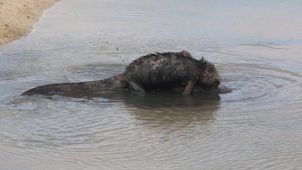 Marine Iguana's Mating