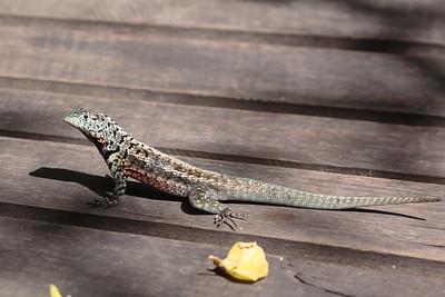 Lava Lizard 2015 1334
