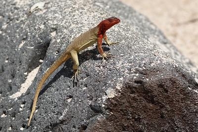 Lava Lizard 2015 2607