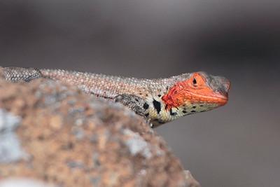 Lava Lizard 2015 1645
