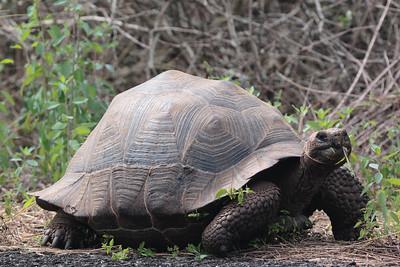 Giant Tortoises 2015 1689