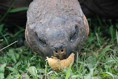 Giant Tortoises 2015 1924