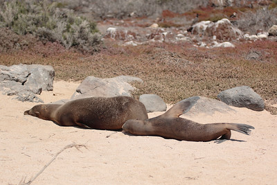 Galapagos Sea Lion 2015 0940