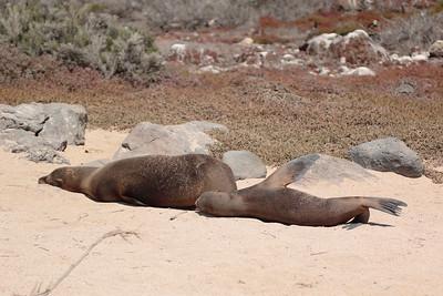 Galapagos Sea Lion 2015 0940