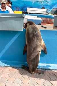 Galapagos Sea Lion 2015 0464
