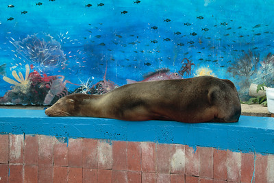 Galapagos Sea Lion 2015 0276