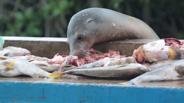 After waiting patiently for the days fish catch to be cleaned and prepared for market, the sea lion dives in.