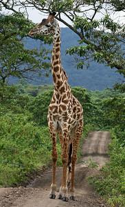 Tall Girafe Arusha