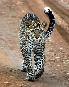 leopard serengeti copy