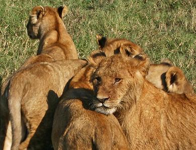 lions closeup kenya