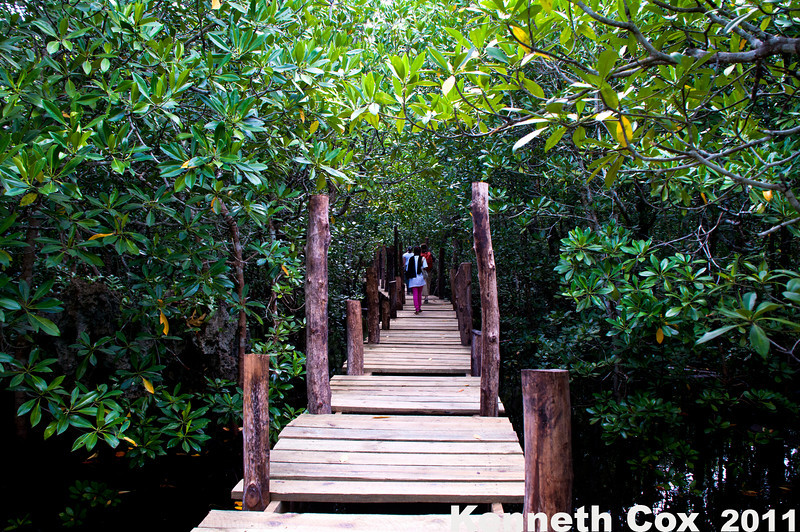 The mangrove forest next to Jozani National Forest