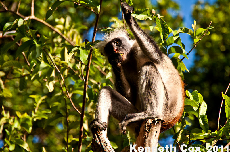 Zanzibari red colobus- endemic to the Zanzibar Archipelago. In Jozani National Forest.