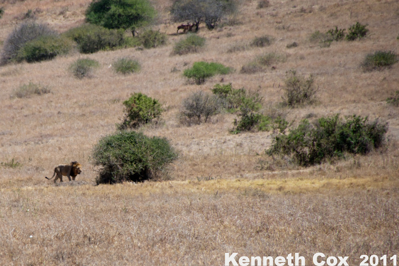From what we could tell, male lions rarely move. This guy was 1 of 2 we saw the whole trip.