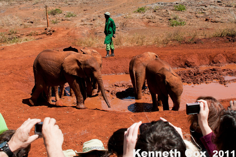 Baby elephants at the Sheldrick Elephant Orphanage. The minders all wear green, so the elephants bond with them, and not all humans, keeping them safer from ivory poachers as adults in the wild.