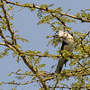 Grey-crested Helmet-shrike