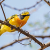 Sulphur-breasted Bush-Shrike