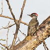 Nubian Woodpecker, male