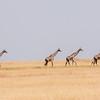 Giraffe (Maasai race)