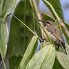 0555, Nairobi on the 22nd, fem. Bronze Sunbird?