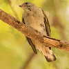 7340, Lesser Honeyguide, Samburu