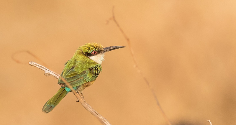 7425 Somali Bee-eater