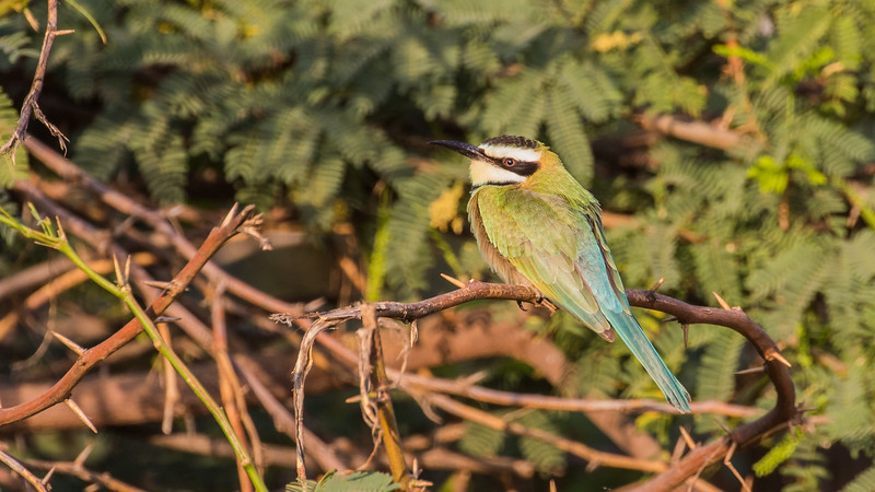 White-throated Bee-eater