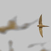 African Palm Swift