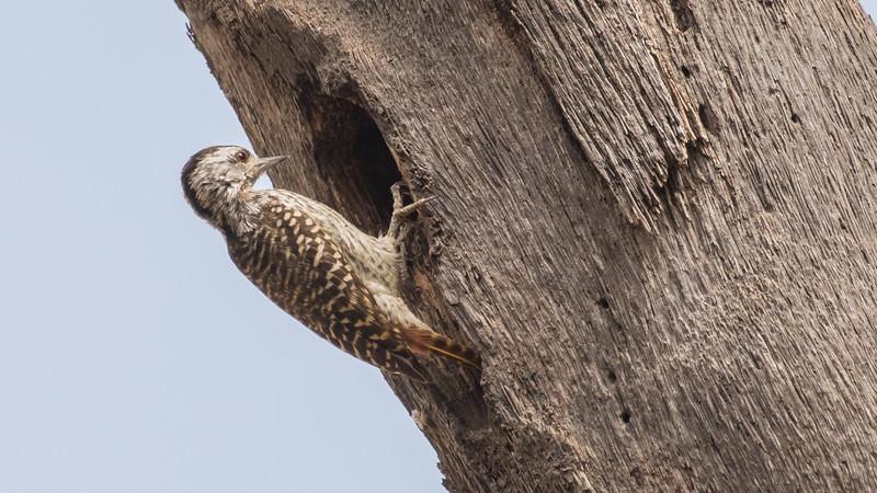 Cardinal Woodpecker, female