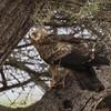 7298 African Marsh-Harrier?, Samburu
