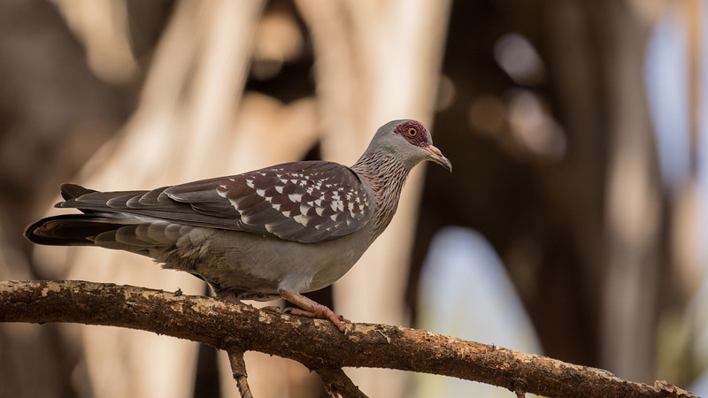 Speckled Pigeon