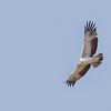 Martial Eagle, juvenile