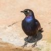 Rueppell's Starling