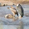 Rueppell's Griffon, Marabou Stork