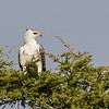 Martial Eagle, juvenile