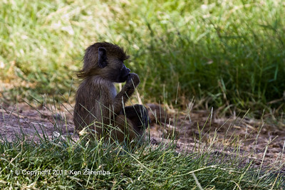 Yellow Baboons, Amboseli National Park