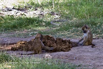 Yellow Baboons sorting through the Elephant shit, Amboseli National Park