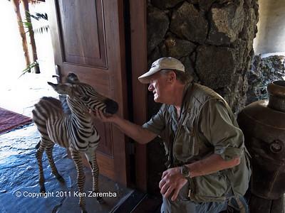 Zoe, orphaned baby Common Zebra at Ol Donyo Wuas